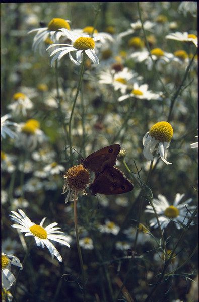 Pyronia tithonus (copulated Gatekeepers, NL: Oranje zandoogjes)