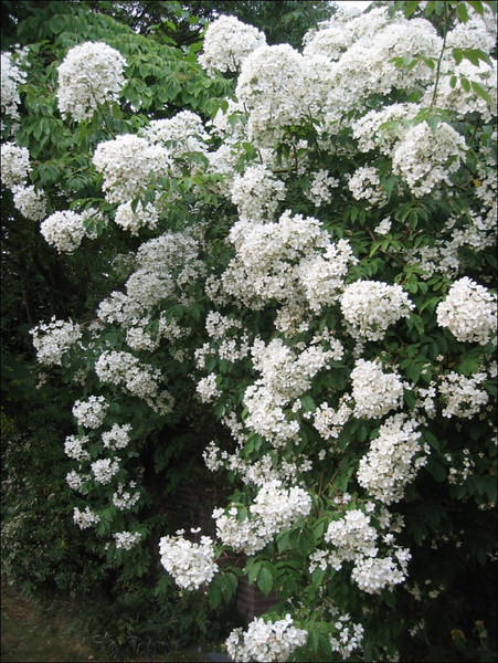 "Rosa filipes ""Kiftsgate"" (Garden Harrie de Vries, Valkenswaard)"