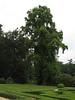 Liriodendron tulpifera, tulpenboom (house Verwolde, Achterhoek)