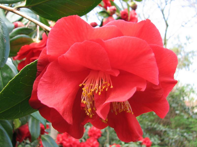 close up, Camillea japonica cv Adolphe Auduson (Garden, Sjaak de Groot, De Zilk, South Netherland)