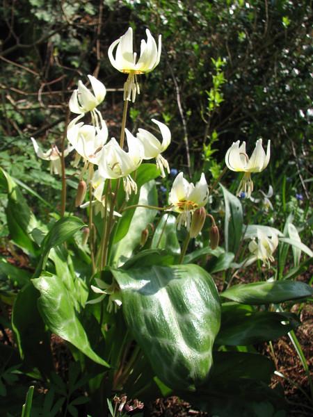 Erythronium cliftonii (Spring 2009 Garden, Sjaak de Groot, De Zilk, South Netherland)