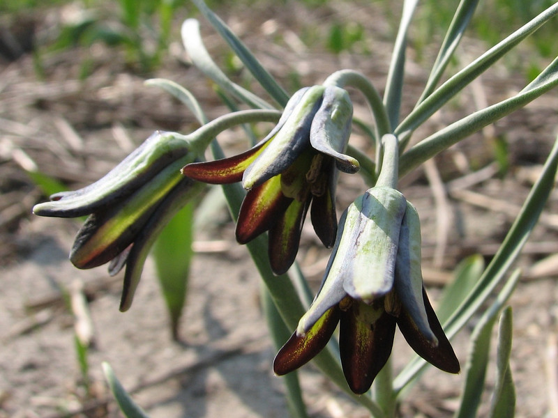 close up, Fritillaria assyriaca ssp. melananthera (bulbous plants nursery Sjaak de Groot, De Zilk, South Holland)