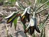 close up, Fritillaria assyriaca ssp. melananthera (bulbous plants nursery Sjaak de Groot, De Zilk, South Holland)
