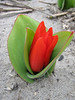 Tulipa praestans (bulbous plants nursery, Sjaak de Groot, De Zilk, Southern Holland)
