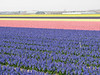 Bulbs fields (Noordwijkerhout/Lisse Northern Holland)