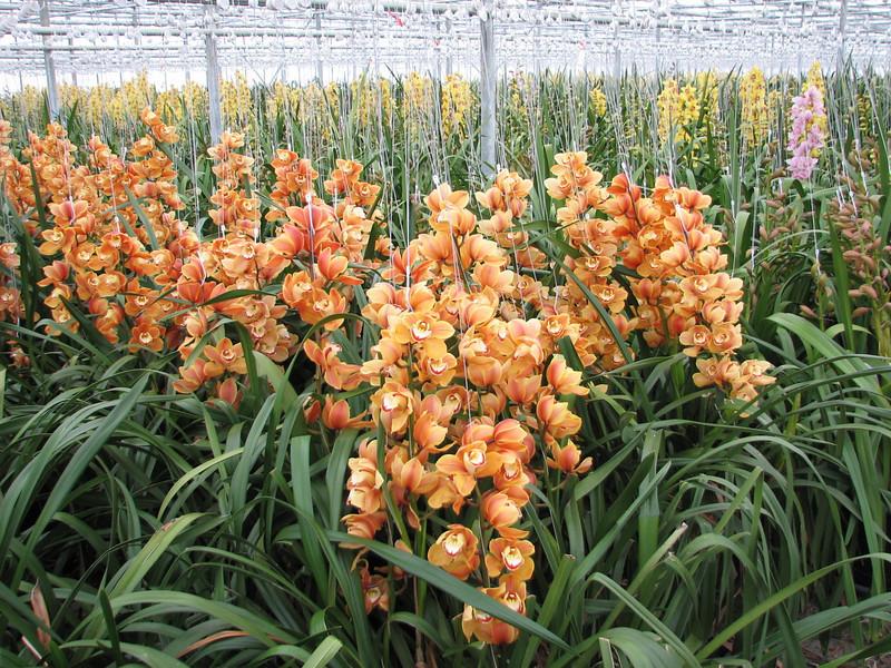 Cymbidium cv Prinses Amalia (Cymbidium nursery, Sjaak de Groot, De Zilk, Southern Holland)
