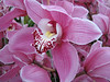 close up, Cymbidium cv. Pia Borg Pink Artist (Cymbidium nursery, Sjaak de Groot, De Zilk, Southern Holland)