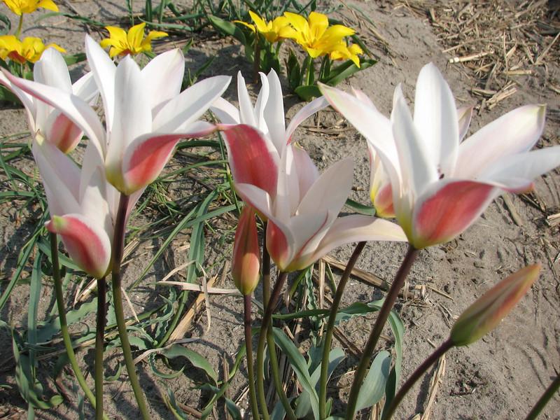 Tulipa clusiana cashmeriana (bulbous plants nursery Sjaak de Groot, De Zilk, South Holland)