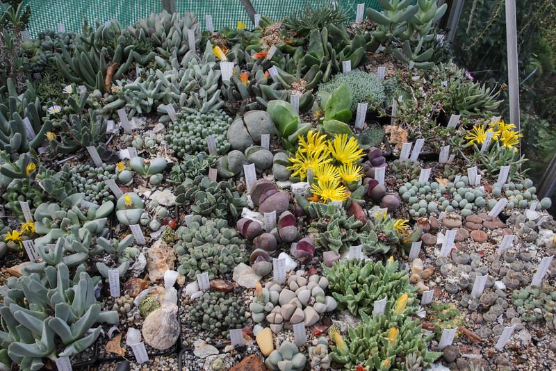 Lithops (Aizoaceae) collection