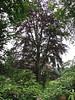 """Fagus sylvatica """"Atropurpurea"""" (house Verwolde, Achterhoek)"""