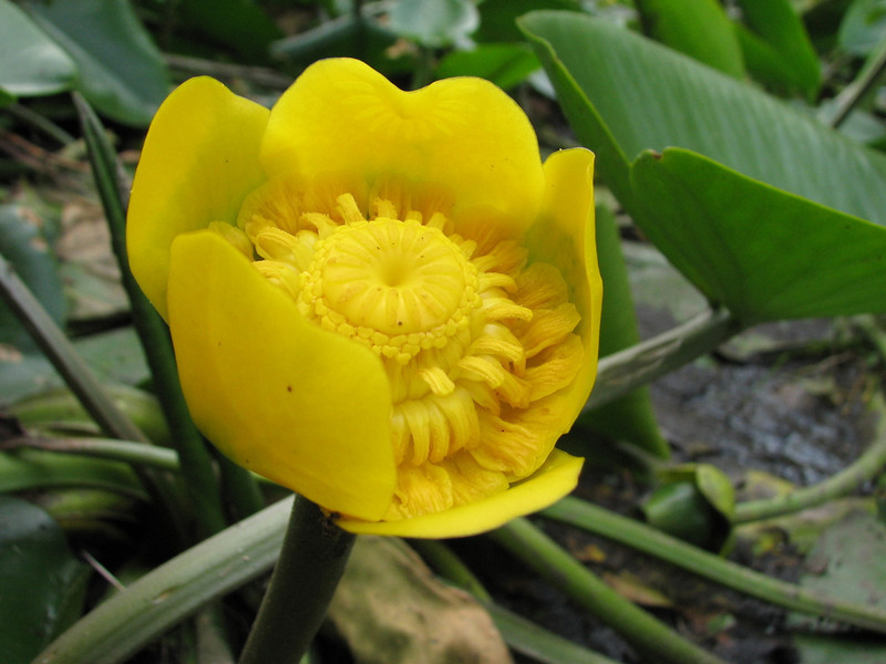 Nuphar lutea (close up flower)