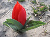 Tulipa spec. (garden C.Breed, Noordwijkerhout, Northern Holland)