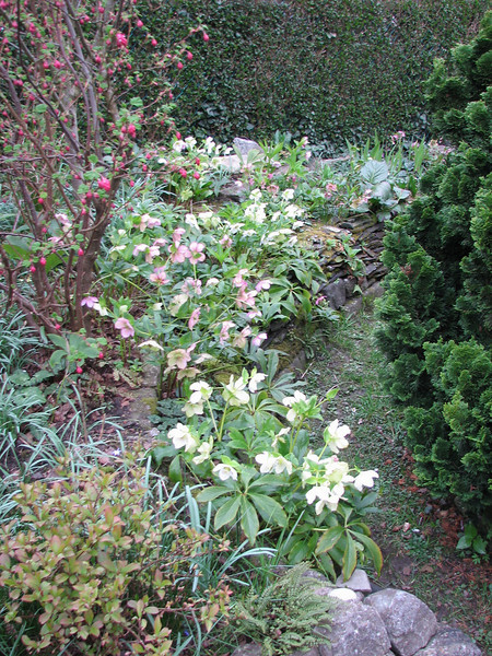 Shade garden with Helleborus species. (Garden Kees Jan, Alblasserdam, Netherlands)
