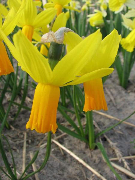 Narcissus spec. (garden C.Breed, Noordwijkerhout, Northern Holland)