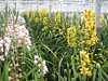 Cymbidium species ( Cymbidium nursery, Sjaak de Groot, De Zilk, Southern Holland)