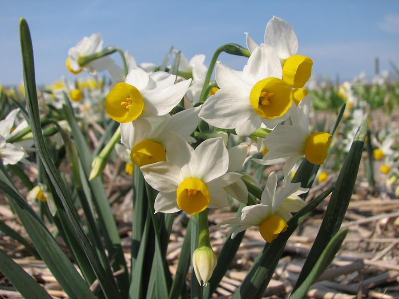 Narcissus caniculatus (bulbous plants nursery Sjaak de Groot, De Zilk, South Holland)