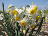 Narcissus caniculatus (bulbous plants nursery Sjaak de Groot, De Zilk, South Holland)