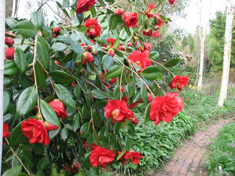 shrub of Camillea japonica cv Adolphe Auduson (Spring 2009 Garden, Sjaak de Groot, De Zilk, South Netherland)