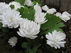 close up, Sanguinaria canadensis (Spring 2009 Garden, Sjaak de Groot, De Zilk, South Holland)
