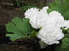 Sanguinaria canadensis (Spring 2009 Garden, Sjaak de Groot, De Zilk, South Holland)