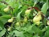 Cypripedium calceolus (Garden, Henk van de Bogaart)