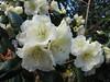 Rhododendron Cv. Rothenberg (Spring 2009 Garden, Sjaak de Groot, De Zilk, South Netherland)