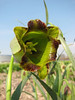 close up, Fritillaria acmopetala ssp. wendelboi (bulbous plants nursery Sjaak de Groot, De Zilk, South Holland)