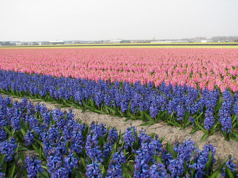 Bulbs fields (Noordwijkerhout/Lisse Northern Holland)