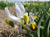Iris X Warlsind (bulbous plants nursery Sjaak de Groot, De Zilk, South Holland)