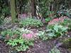 Corydalis solida Penza strain selecties (Garden, Sjaak de Groot, De Zilk, Southern Holland)