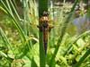 dragonfly (Pondgarden Ada Hofman, Loozen)