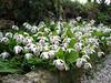 Cypripedium formosanum (Garden, Henk van de Bogaart)