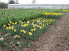 Narcissus (bulbous plants nursery, Sjaak de Groot, De Zilk, Southern Holland)