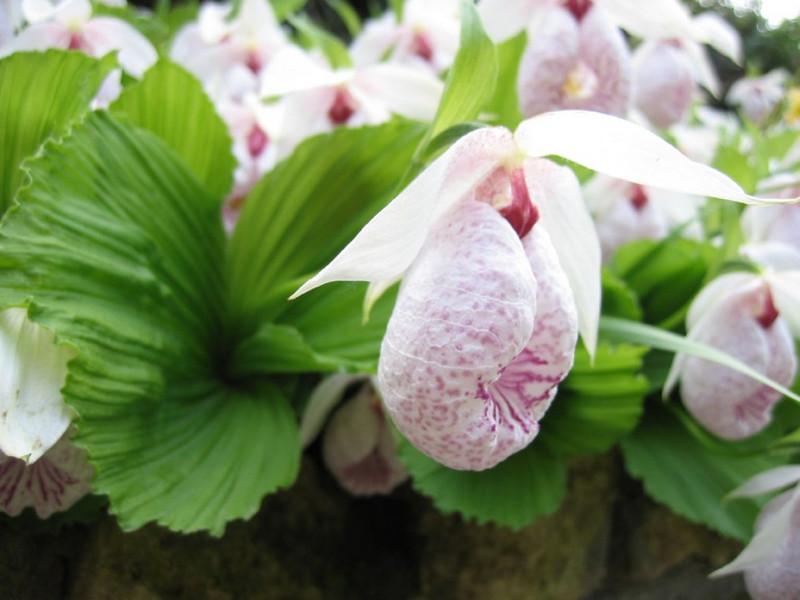 close up, C.formosanum (Garden, Henk van de Bogaart)