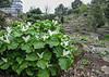 Trifolium grandiflorum