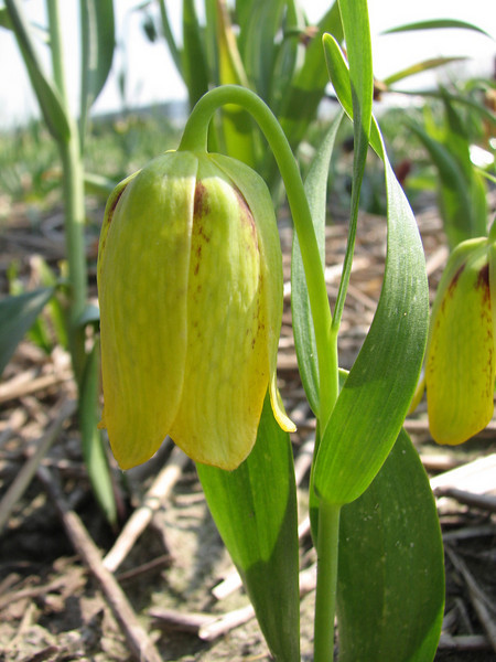 Fritillaria amana Yellow Form (bulbous plants nursery Sjaak de Groot, De Zilk, South Holland)