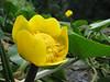 Nuphar lutea, gele plomp (house Verwolde)