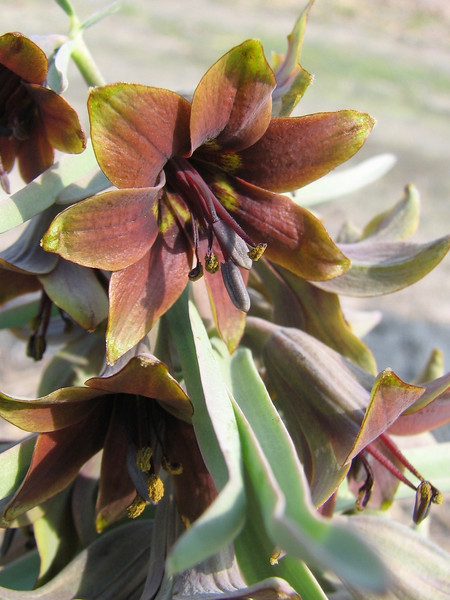 close up, Fritillaria sewerzowii (bulbous plants nursery Sjaak de Groot, De Zilk, South Holland)