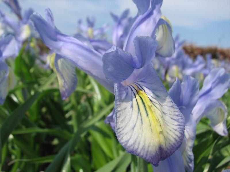 close up, Iris graeberiana X Yellow Fall (bulbous plants nursery Sjaak de Groot, De Zilk, South Holland)