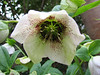 Helleborus spec.   6 (Garden, Sjaak de Groot, De Zilk, Southern Holland)