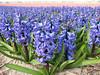 Hyacinthaceae (Noordwijkerhout/Lisse Northern Holland)