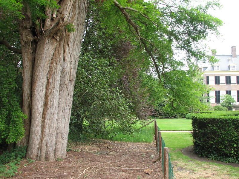 trunk of Taxodium distichum (house Verwolde, Achterhoek)