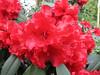 Rhododendron CV. Taurus