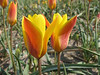 Tulipa clusiana Tubergens Gem (bulbous plants nursery Sjaak de Groot, De Zilk, South Holland)