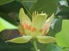 Liriodendron tulpifera (close up flower, house Verwolde, Achterhoek)