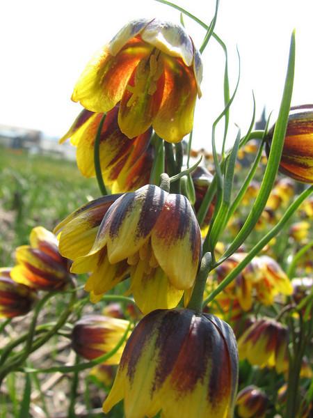 Fritillaria reuteri (bulbous plants nursery Sjaak de Groot, De Zilk, South Holland)