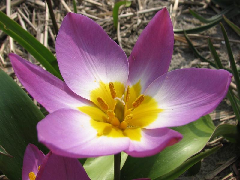 close up, Tulipa bakeri (bulbous plants nursery Sjaak de Groot, De Zilk, South Holland)