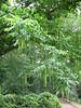 Pterocarya fraxinifolia, vleugelnoot (House Verwolde,)