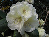close up, Rhododendron Cv. Rothenberg