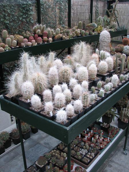 Cactaceae (Garden Kees Jan van Zwienen, Alblasserdam, Netherlands)